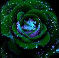 ROSA VERDONE - RARISSIMA 10 semi / seeds