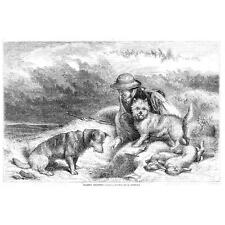 HUNTING Rabbit Netting With Dogs - Antique Print 1857
