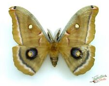 Antheraea polyphemus real silk moth SET x1 A1-Male taxidermy entomology Artwork