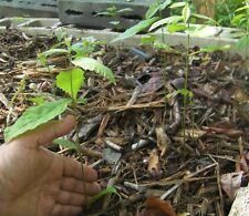 "Two Rare hybrid Asian-American Dunstan Chestnut 12-18"" tall tree seedling"