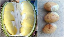 *UNCLE CHAN* Durian 2 Seeds coming My garden Fresh Viable Durio zibethinus 2018