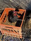 6 Bantam Mix Chicken hatching eggs Will Be a mix between the breeds pictured