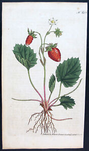 1787,ANTIQUE PRINT EARLY CURTIS  ORIGINAL WATERCOLOUR ENGRAVING STRAWBERRY VMF