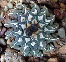 10 Ariocarpus kotschoubeyanus cv PECTINATUS & SPIRALIS (ex Japan) S1600 SEMI