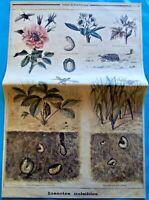 XIX Ancienne Gravure Insectes Nuisibles Nymphe Larve Cétoine Hanneton Vigne