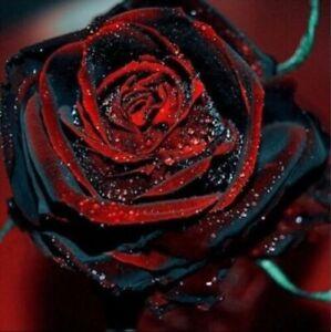 USA-Seller Beautiful  Black Red Rose Flower Seeds 50PCS