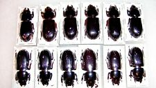 Aceraius grandis Nice Ground Beetle 5 Lot Nice Adult Specimens