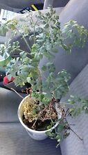 "Ruda Plant #1- Common Rue (Ruta graveolens) Herb of Grace - Ship in 3"" Tall Pot"