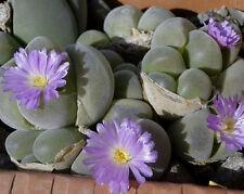 Gibbaeum johnstonii, living stones exotic rare mesembs rock semi seed 20 SEEDS