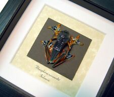 Real Framed Museum Collection Rhacophorus Reinwardtii Parachute Frog A1403