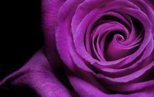 35  Rose Rosen Samen Purple Fire Seeds Gothic Gardenin.+ Tribute - Geschenk,...