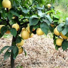30pcs Golden Pear Asian Pear Seeds Nutritious Sweet Fruit Potted Golden Tree
