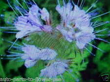 400 SEED  of the LACY PHACELIA   PURPLE/VIOLET COLOR    A-BUY-1-GET-1-FREE-OFFER