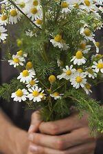Kübelpflanze winterhart Samen exotisch ganzjährig Zierpflanze Kräuter KAMILLE