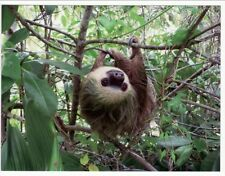 Postcard Two-Toed Sloth Hangs From Tree
