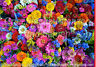 Sommerblumen Wiese Mischung * 1000 Samen * ca. 50 Arten Blumenwiese * kein Gras