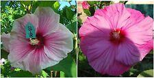 Hibiscus Moscheutos lot N3: bicolore / rose intense, fleur 26 cm!! 15 graines