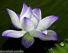 10 Blue Enchantress Lotus Seeds Water Lily Pad Nymphaea Nelumbo Nucifera Pond