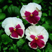 50 Pansy Seeds Faces Blush White Pansy Seeds FLOWER SEEDS
