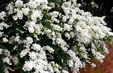 "25 Pearlbush "" The Bride "" Seeds - Exochorda X Macrantha"