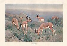 c1914 NATURAL HISTORY PRINT ~ GAZELLE ~ LYDEKKER