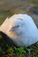 12+ English White Coturnix Quail Hatching Eggs