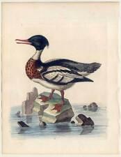 Säger-Meeresvogel-Wasservogel-Vogel-Vögel - Kupferstich Edwards 1745 Birds