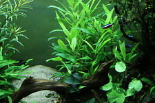 5 X HYGROPHILA Corymbosa Live Aquarium Aquatic Plants Fish Tank