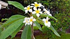 Plumeria Cutting Sweet Smelling Frangipani Tropical Flowers