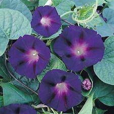 Morning Glory 'Star of Yelta' / Ipomoea purpurea / 30 Seeds