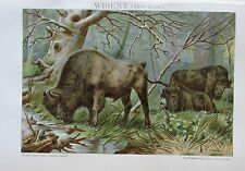 WISENT BOS URUS 1895 Original Farbdruck Antique Print Lithographie Brockhaus