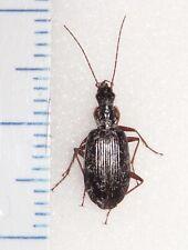 Carabidae Platynini Carabid species 11.1mm Indiana #MB-54 Carabus Beetle Insect