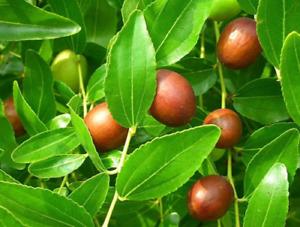 Wild Chinese Jujube - Chinese Date - 5+ seeds - Semillas - Graines - Samen