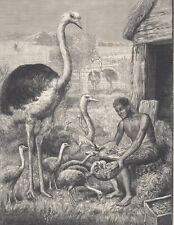 SOUTH AFRICA OSTRICH FARM OSTRICHES WITH BABY OSTRICH BIRDS ANTIQUE PRINT 1898