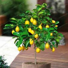 10 Pcs Lemon Seeds Delicious Potted Organic Fruit Seed High Survival Rate Fruit