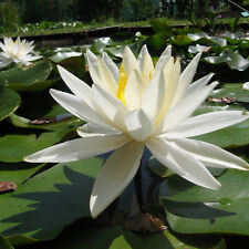 Pot Luck Lilies - Water Lilys - Pond Plants- Pond Lilies