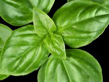 """Basil Seeds (SWEET) """"150 Seeds"""" Excellent Herb For Any Garden,Easy To Grow"""