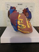 Anatomical Heart Model Teaching Aid