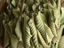 200+ Selected Organic Garden Guava Leaves Fresh Green Cut Nature Dried