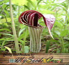 (10) Jack-in-the-Pulpit, Arisaema triphyllum Seeds - AKA bog onion, brown dragon