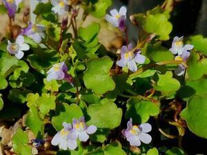 Cymbalaria Muralis -Trailing Perennial Rockery Ground-cover Plant in 9cm Pot