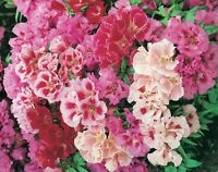 Godetia Double Azalea Flowered Mix Seeds Hardy Annual Pastel Colours Bedding