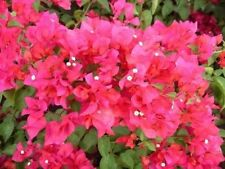 Bougainvillea - 'James Walker''