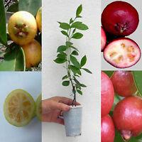 Psidium guajava/cattleianum Strawberry Cherry Guava, Goyavier, Guayabo / 1 plant
