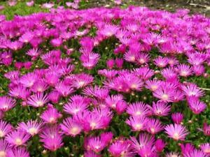 Pack x6 Delosperma 'Cooperi' Perennial Rockery Garden Plug Plants