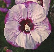 """CHERRY CHEESECAKE Hardy Hibiscus -- Plant in 4.5"""" pot"""