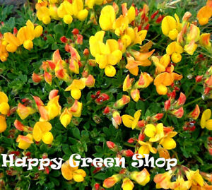 British Wild Flower - 4500 seeds - Lotus corniculatus - Birds foot Trefoil