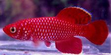 50 N. korthausae Red  Killifish (killiefish) eggs
