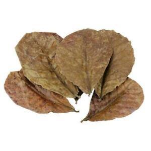 10 Catappa indian almond leaves ketapang leaf shrimp betta fish aquarium care