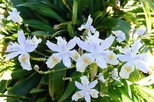 Plants- Iris evansia hybrid 'Tomah Dancing Clouds'
